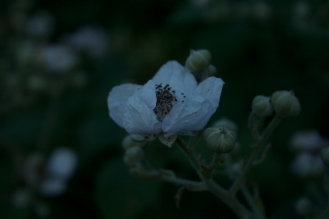 Moonshine flowers 2