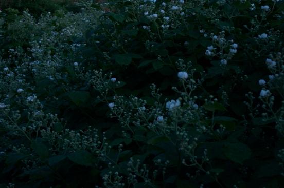 Moonshine flowers (dog roses), 2015